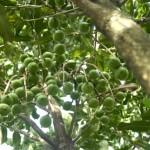 cây-mắc-ca-5-năm-tuổi-bắt-đầu-ra-quả-1--1024x685