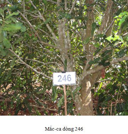 Macca246