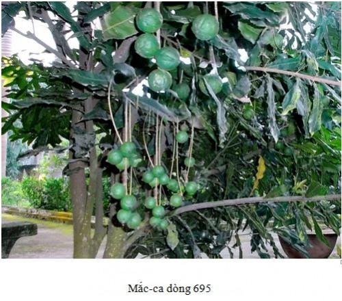 maca 695
