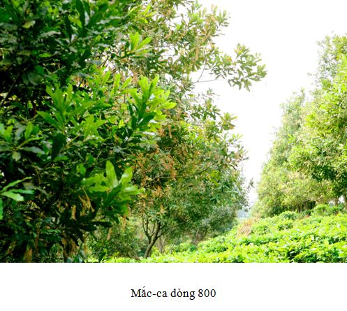macca800